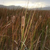 Bulrushes expected to 'fluff' around beginning of autumn