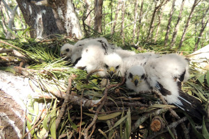 The young birds on the nest in Constantia