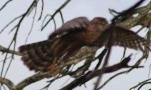The bird in flight showing the colour rings on the legs (apologies for the poor picture quality)