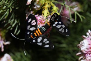 Heady Maiden moths (1)