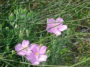 Orphium frutescens (2)