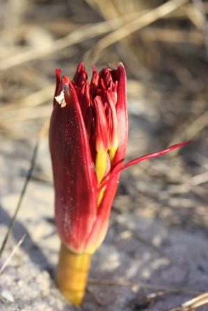 Brunsvigia orientalis (1)
