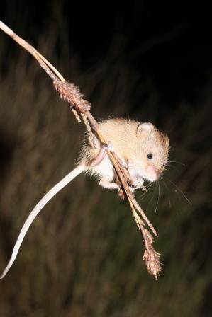 Brandt's Climbing Mouse