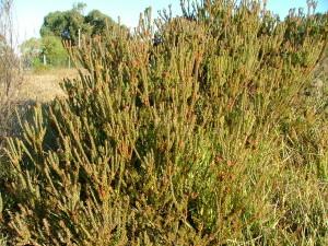 Leucadendron levisanus female - Rondevlei 2006