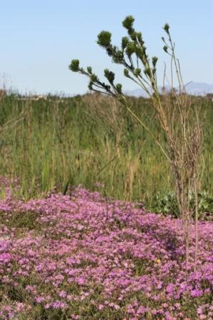 Pink Senecio elegans flowers along the shore line.