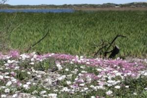 White daisies; Cape Snow (Dimorphatheca pluvialis) open in the mid day sun.