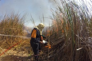 The initial reed beds being lit. Bulrush reed beds are very fire prone and will recover quickly from their root bases after a fire.