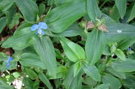 #commelina benghalensis must fall