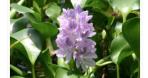 Water Hyacinth in Zeekoevlei